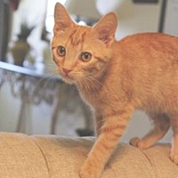 Adopt A Pet :: Boy George - Knoxville, TN