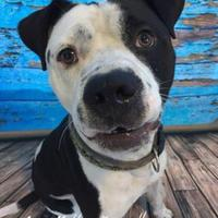 Adopt A Pet :: Checker - Land O'Lakes, FL