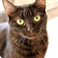 Havana Brown Cat for adoption in Los Angeles, California - Godiva