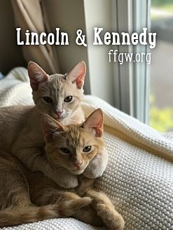 Domestic Shorthair Kitten for adoption in Merrifield, Virginia - Lincoln