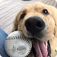 Adopt A Pet :: Dutch - New Canaan, CT