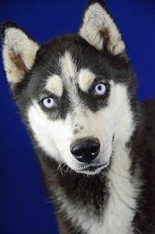 Siberian Husky Dog for adoption in LAFAYETTE, Louisiana - SISI