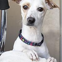 Adopt A Pet :: Schnitzel - Las Vegas, NV