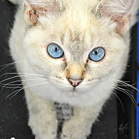 Adopt A Pet :: Jade - Eureka, CA