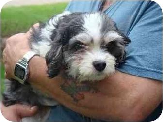 Cavalier King Charles Spaniel/Bichon Frise Mix Dog for adoption in Mason City, Iowa - Bingo