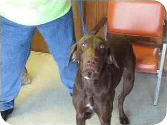 Labrador Retriever/Weimaraner Mix Dog for adoption in Mason City, Iowa - Gunny