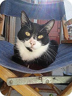 Domestic Mediumhair Cat for adoption in Toluca Lake, California - Karl