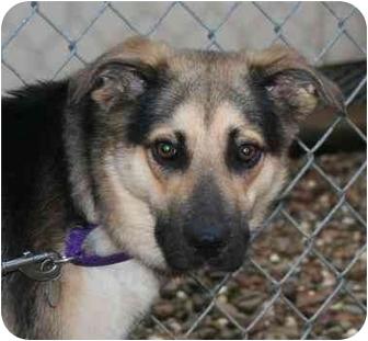 German Shepherd Dog/Husky Mix Dog for adoption in Berea, Ohio - Sweetheart