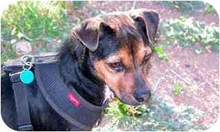 Miniature Pinscher/Terrier (Unknown Type, Medium) Mix Dog for adoption in Sedona, Arizona - Holly
