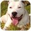 Photo 1 - American Bulldog/American Pit Bull Terrier Mix Dog for adoption in Rolling Hills Estates, California - Cheeto