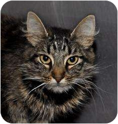 Domestic Mediumhair Cat for adoption in Sonoma, California - Willow