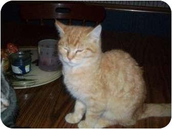 Domestic Mediumhair Kitten for adoption in Deer, Arkansas - Tiger