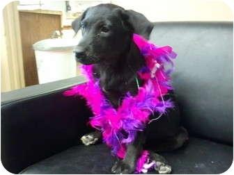 Spitz (Unknown Type, Small)/Labrador Retriever Mix Puppy for adoption in Plano, Texas - Munchkin