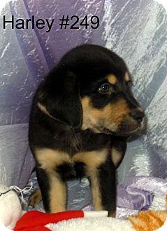 Rottweiler/Shepherd (Unknown Type) Mix Puppy for adoption in Waldorf, Maryland - Harley #249