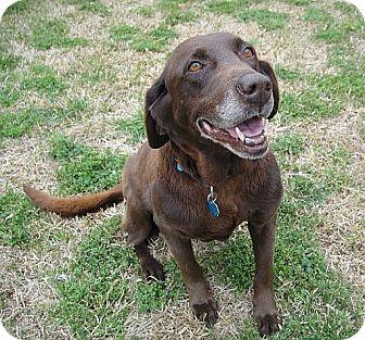 Labrador Retriever Dog for adoption in Coppell, Texas - Tandy