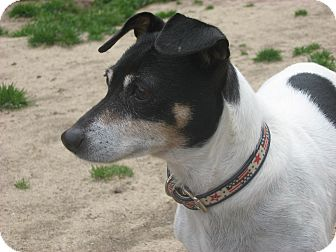 Jack Russell Terrier/Rat Terrier Mix Dog for adoption in Thomasville, North Carolina - Emma