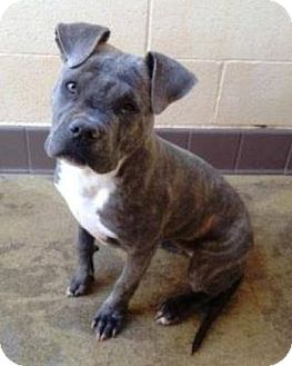 Pit Bull Terrier Mix Puppy for adoption in Seattle, Washington - Zoey