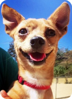 Chihuahua/Dachshund Mix Dog for adoption in Los Angeles, California - Ginger *VIDEO*