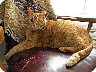 Domestic Mediumhair Cat for adoption in Rohrersville, Maryland - Raja