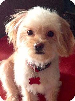 Maltese/Terrier (Unknown Type, Small) Mix Dog for adoption in Encino, California - Sasha
