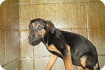 German Shepherd Dog Mix Puppy for adoption in Henderson, North Carolina - Victoria