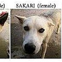 Adopt A Pet :: Ishta, Nanuuk & Sakari - Santa Fe, NM