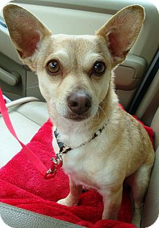 Chihuahua/Terrier (Unknown Type, Small) Mix Dog for adoption in Sneads Ferry, North Carolina - Tyler