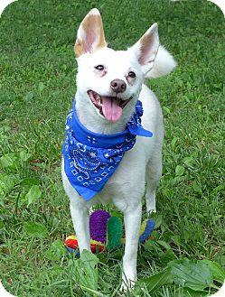 Spitz (Unknown Type, Small)/Corgi Mix Dog for adoption in Mocksville, North Carolina - Sundae