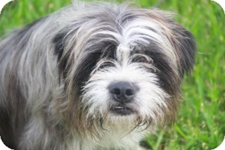 Bearded Collie/Terrier (Unknown Type, Medium) Mix Dog for adoption in Norwalk, Connecticut - Dweezel