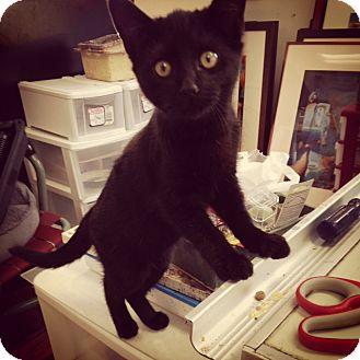 Domestic Shorthair Kitten for adoption in Homewood, Alabama - Betty Boop