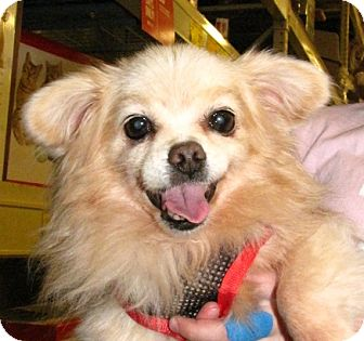 Pomeranian/Chihuahua Mix Dog for adoption in Gainesville, Florida - Sophie