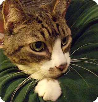 Domestic Shorthair Cat for adoption in Vancouver, Washington - Buddy