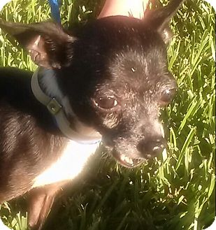 Chihuahua Dog for adoption in Houston, Texas - COOLIO