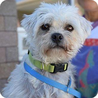 Shih Tzu Mix Dog for adoption in Denver, Colorado - Chewy