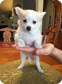 Chihuahua Mix Puppy for adoption in Las Vegas, Nevada - Bambi's Blixen