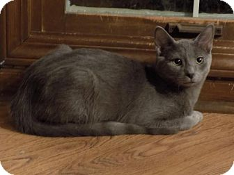 Domestic Shorthair Cat for adoption in Sterling Heights, Michigan - Qui-Gon (with Han)