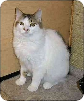 Domestic Shorthair Cat for adoption in Carlisle, Pennsylvania - Speed