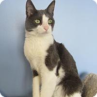 Domestic Shorthair Cat for adoption in Northfield, Minnesota - Johnny