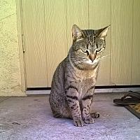 Adopt A Pet :: Desi - Bellflower, CA