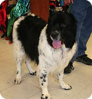 Newfoundland Mix Dog for adoption in London, Ontario - Betsy