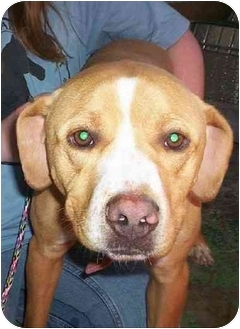 Pit Bull Terrier Mix Dog for adoption in Honesdale, Pennsylvania - Odie