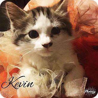 Domestic Mediumhair Kitten for adoption in Zanesville, Ohio - Kevin