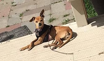 Italian Greyhound Dog for adoption in Discovery Bay, California - Bobbi
