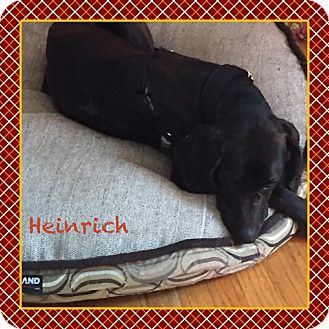 Plott Hound Dog for adoption in Warren, Michigan - Heinrich