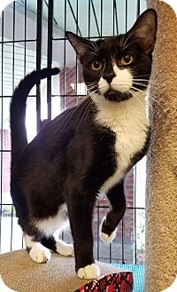 Domestic Shorthair Cat for adoption in Philadelphia, Pennsylvania - Spot