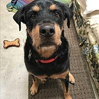 Adopt A Pet :: Koda2 - Scottsdale, AZ