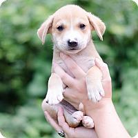 Adopt A Pet :: Shane $250 - Seneca, SC