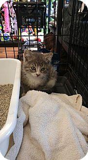 Domestic Shorthair Kitten for adoption in Bainsville, Ontario - Felix II