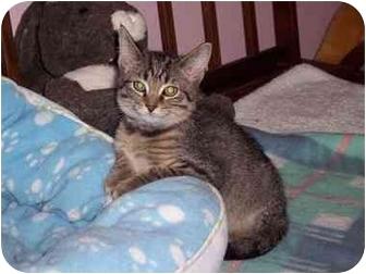 Domestic Shorthair Kitten for adoption in Medina, Ohio - Neo
