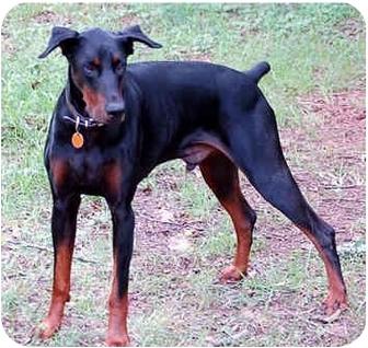 Doberman Pinscher Dog for adoption in Greensboro, North Carolina - Hilton(Duke)
